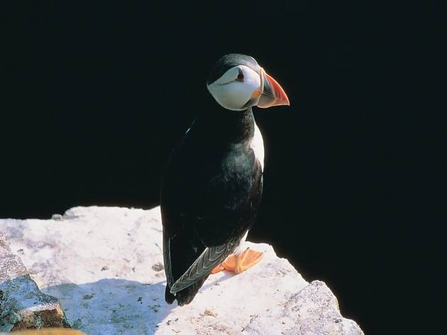 Rathlin Puffin