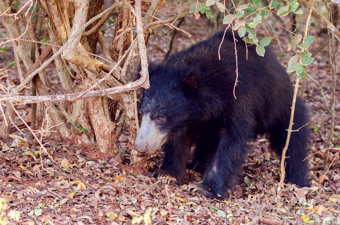 Witness sloth bears and leopards in Yala