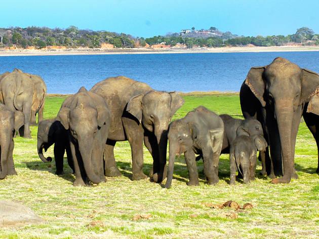 Elephant Gathering in Minneriya