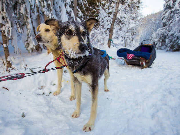 Dog Sledding EITW -Top The must-see attractions in Jasper National Park