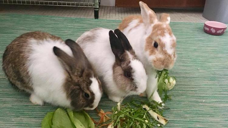 House Rabbit Society Singapore