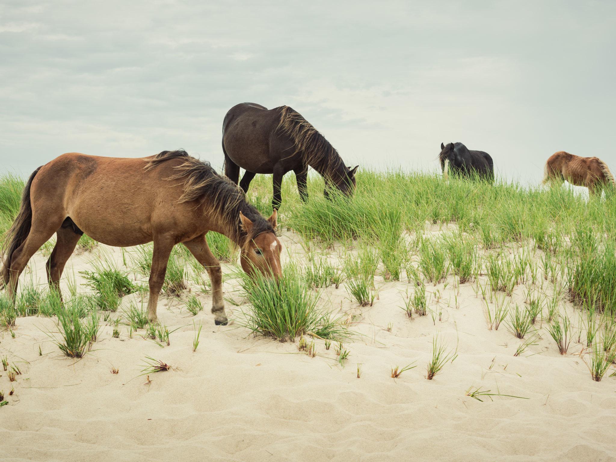 Sable Island horses - Canada