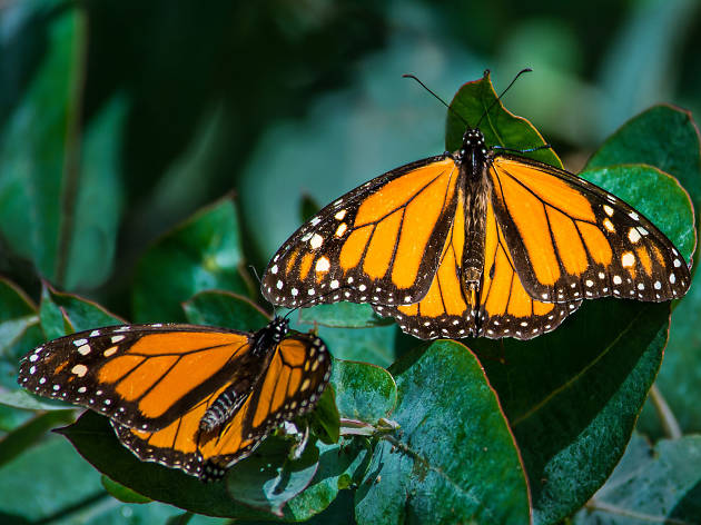 Monarch Butterfly Grove - Pismo Beach - United States