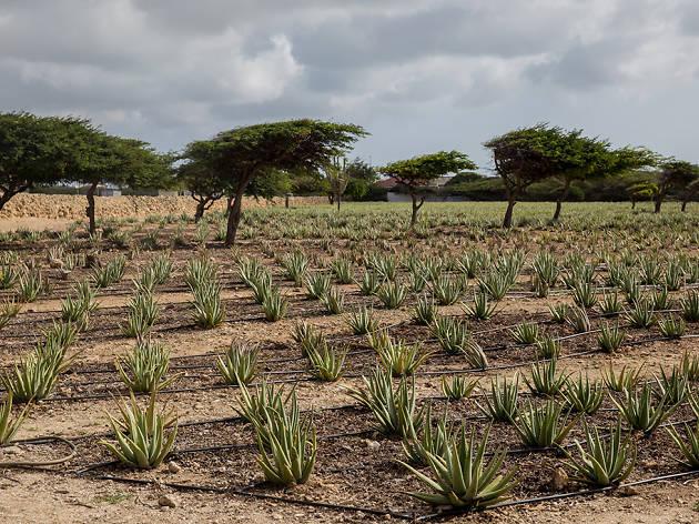 Aruba Aloe Museum & Factory