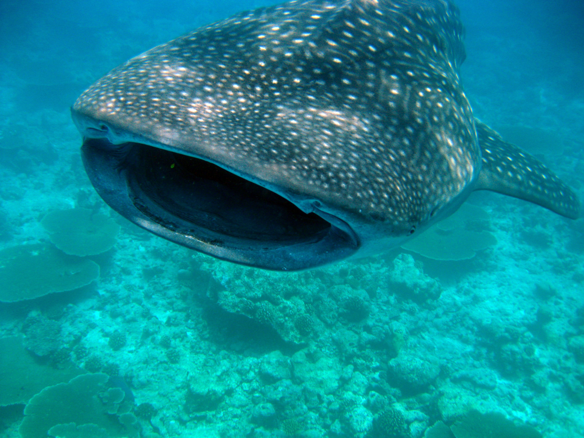 South Ari Atoll whale shark