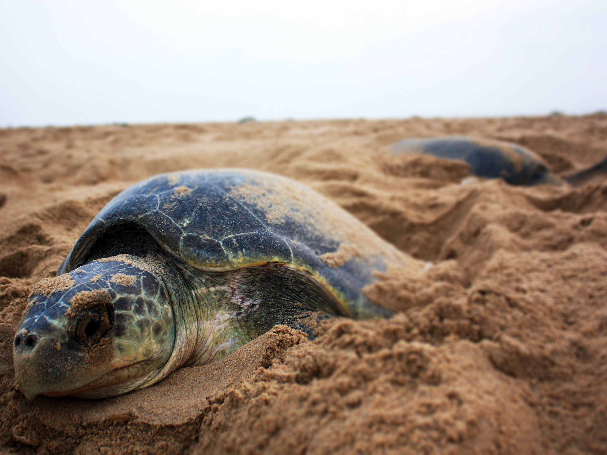 Olive Ridley Turtles - Chennai - India