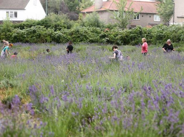 Carshalton Lavender Community Harvest