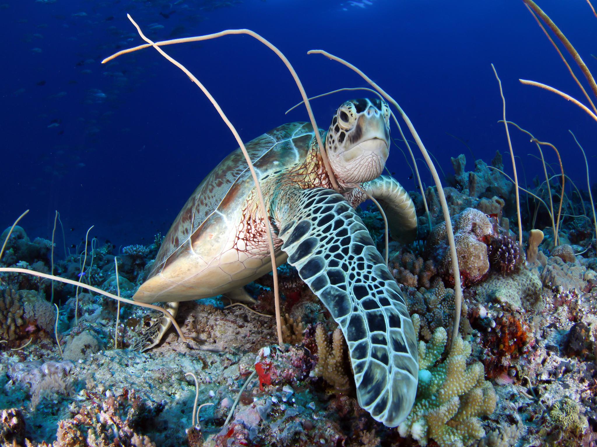 Diving in Pulau Sipadan