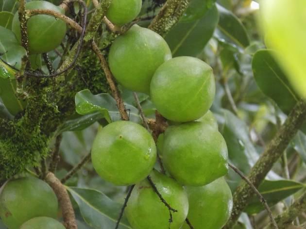 Mauna Loa Macadamia Nut