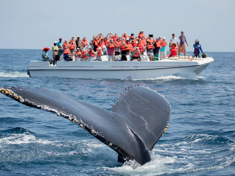 Whale Watching, Península de Samaná