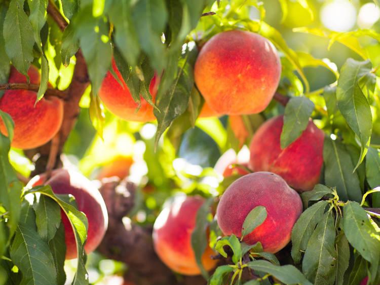 The best peach picking near NYC