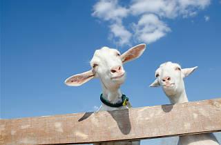 Buttercups Sanctuary for Goats, Kent