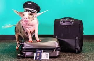LiLou the pig at San Francisco Airport