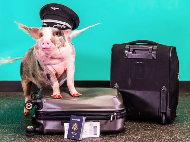 Meet LiLou: the friendly pig greeting travellers at San Francisco airport
