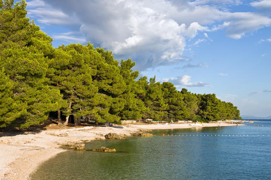 Pine trees on Promajna