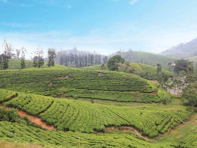 Rolling tea estates in Hatton