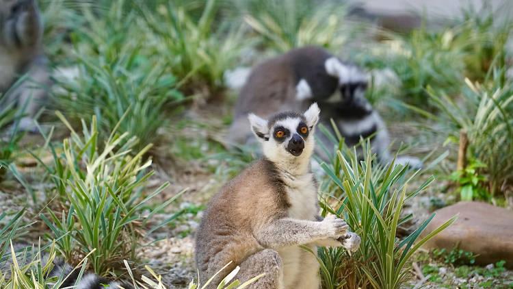Hong Kong Zoological and Botanical Gardens lemurs