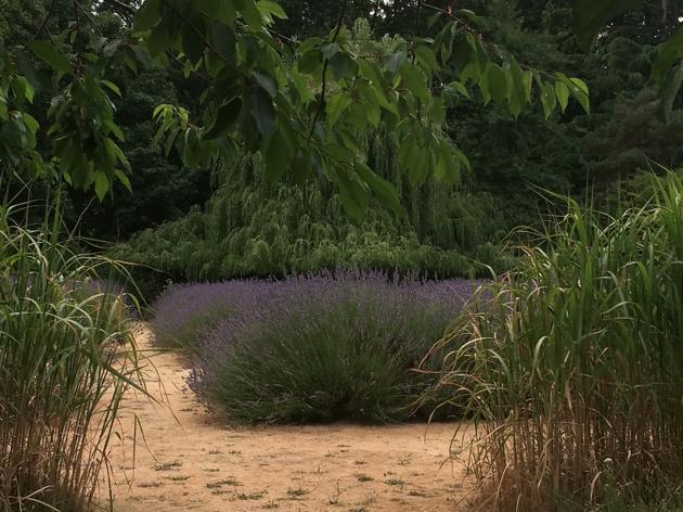 vauxhall lavender