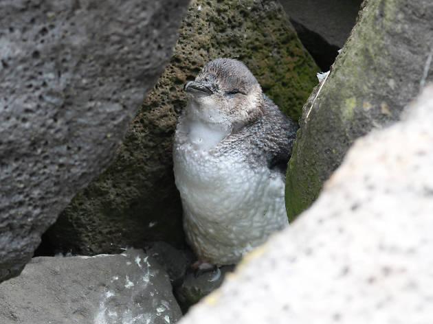 St Kilda beach penguins