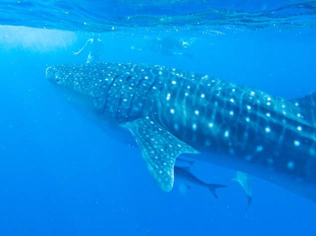 Ningaloo Reef shark