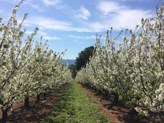 Cherry Hill Blossom Festival