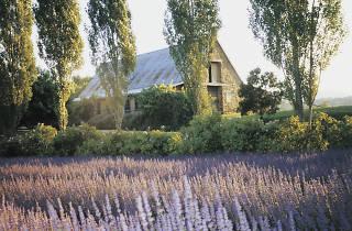 Lavandula Lavender Farm