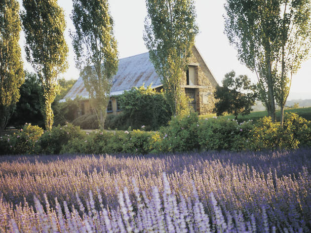 Lavender fields in and around Melbourne