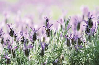 Lavender at Daylesford