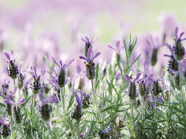 Lavender at Daylesford