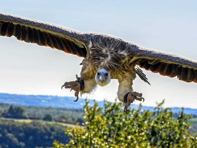 Spot rare a griffon vulture
