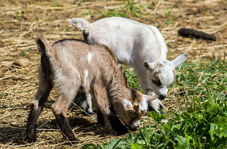 Baby goats on a farm