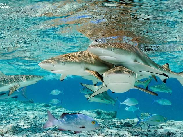 Exposição amiga dos tubarões junta Oceanário e National Geographic