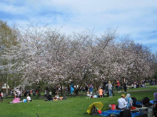 Hanami Cherry Blossom Festival