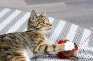Cat playing with toy at Neko Cat Cafe