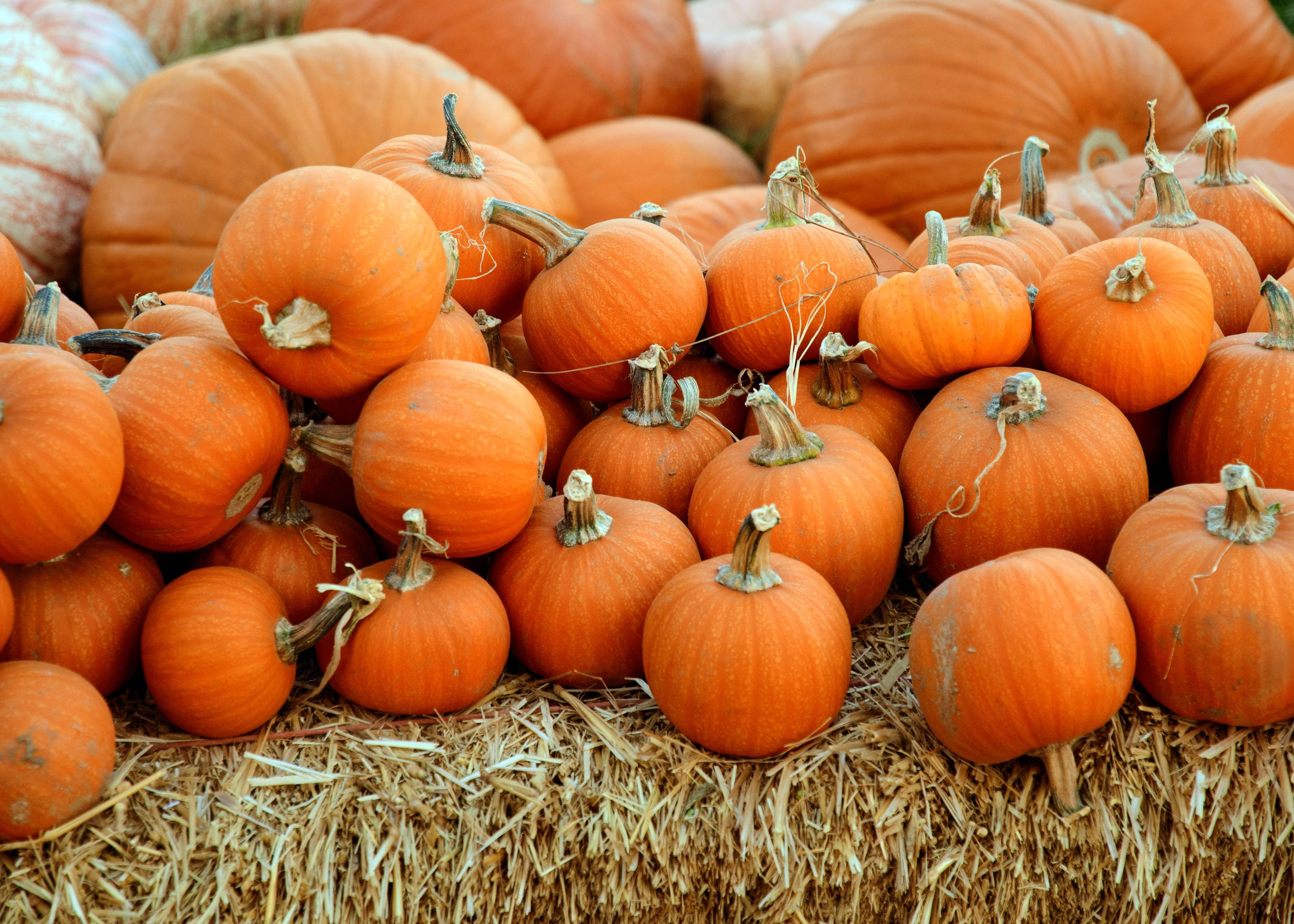 09093356 Best Pumpkin Patches Near Chicago to Plan An Outing to in 2019