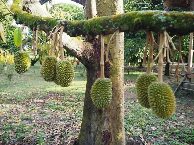 Johor Bahru fruit picking
