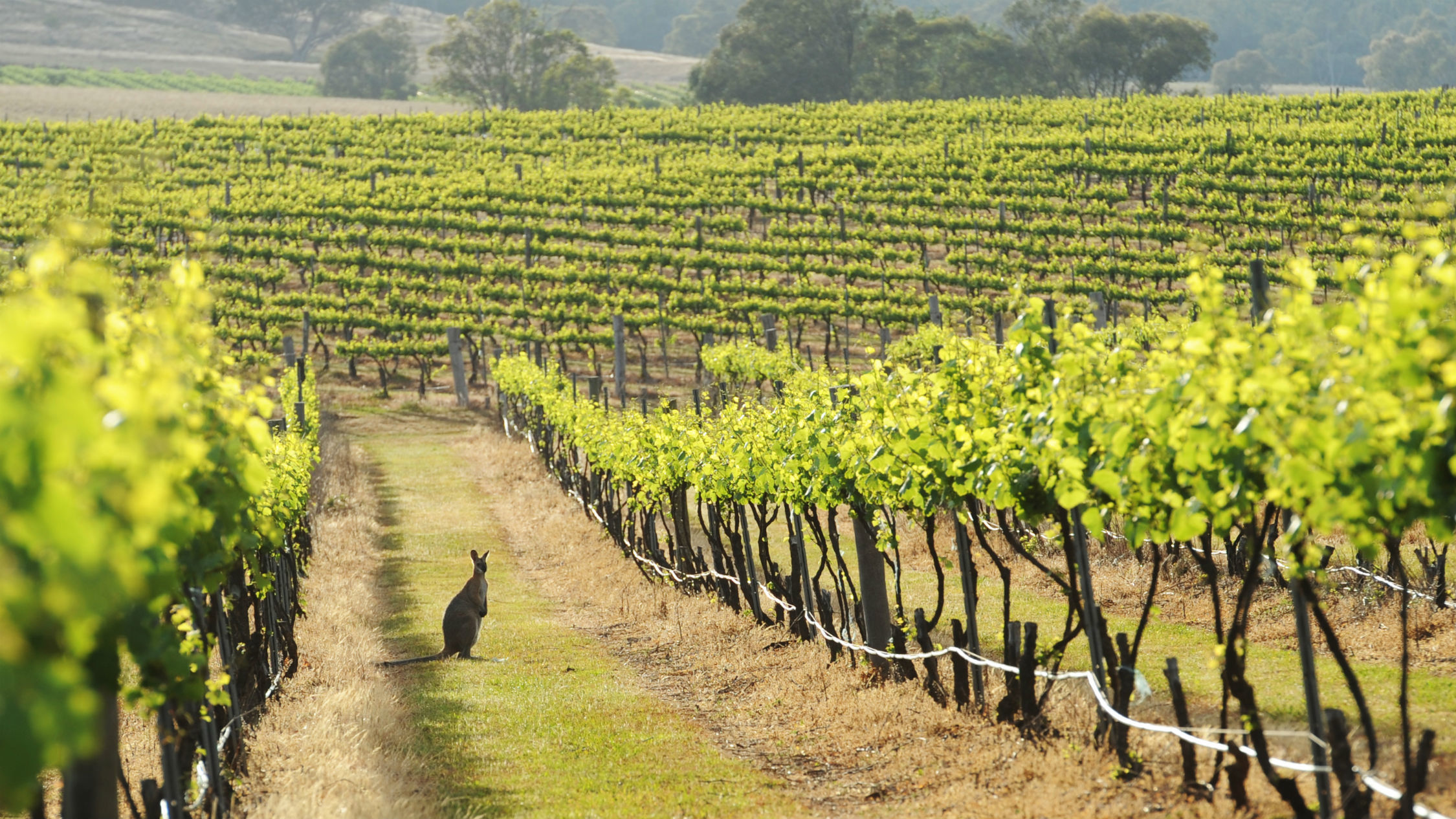 Mudgee vineyard with kangaroo