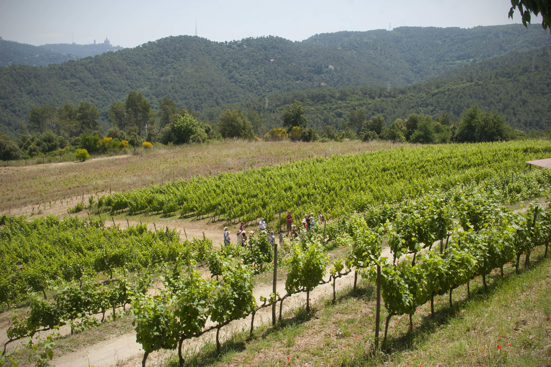 Vinyes de Can Calopa