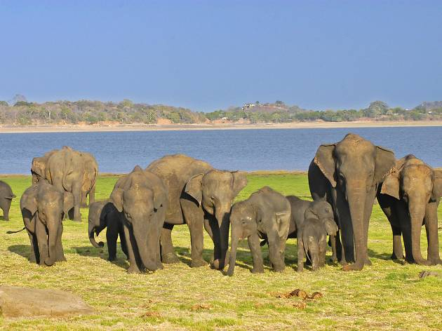 Elephant gathering at Minneriya
