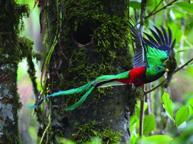 Resplendent Quetzal - Quetzal (pharomachrus mocinno)
