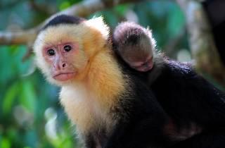 White-headed monkey in Tenorio National Park