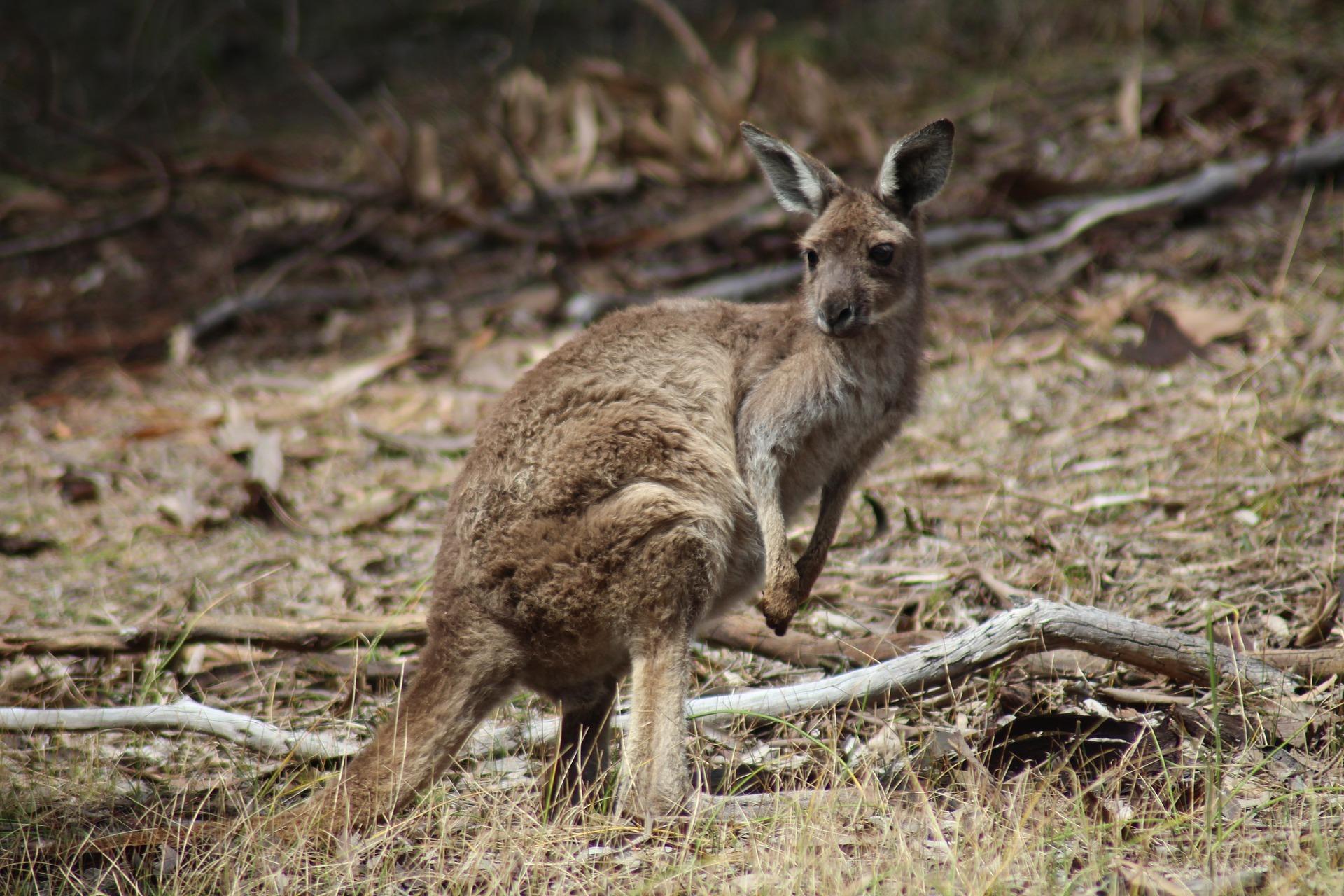 Generic kangaroos
