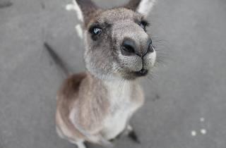 Generic kangaroo