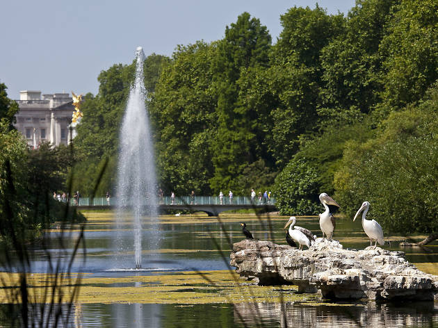 St James's Park, Pelicans and Buckingham Palace