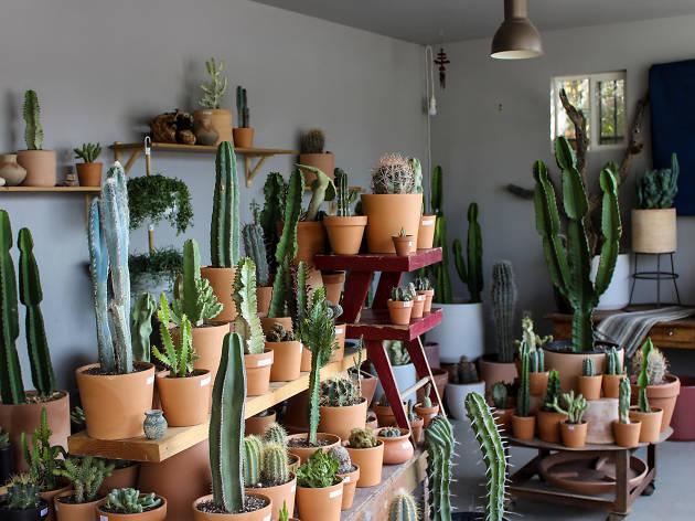 Ponderosa Cactus