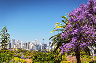Jacaranda tree with city skyline view from Greenwich