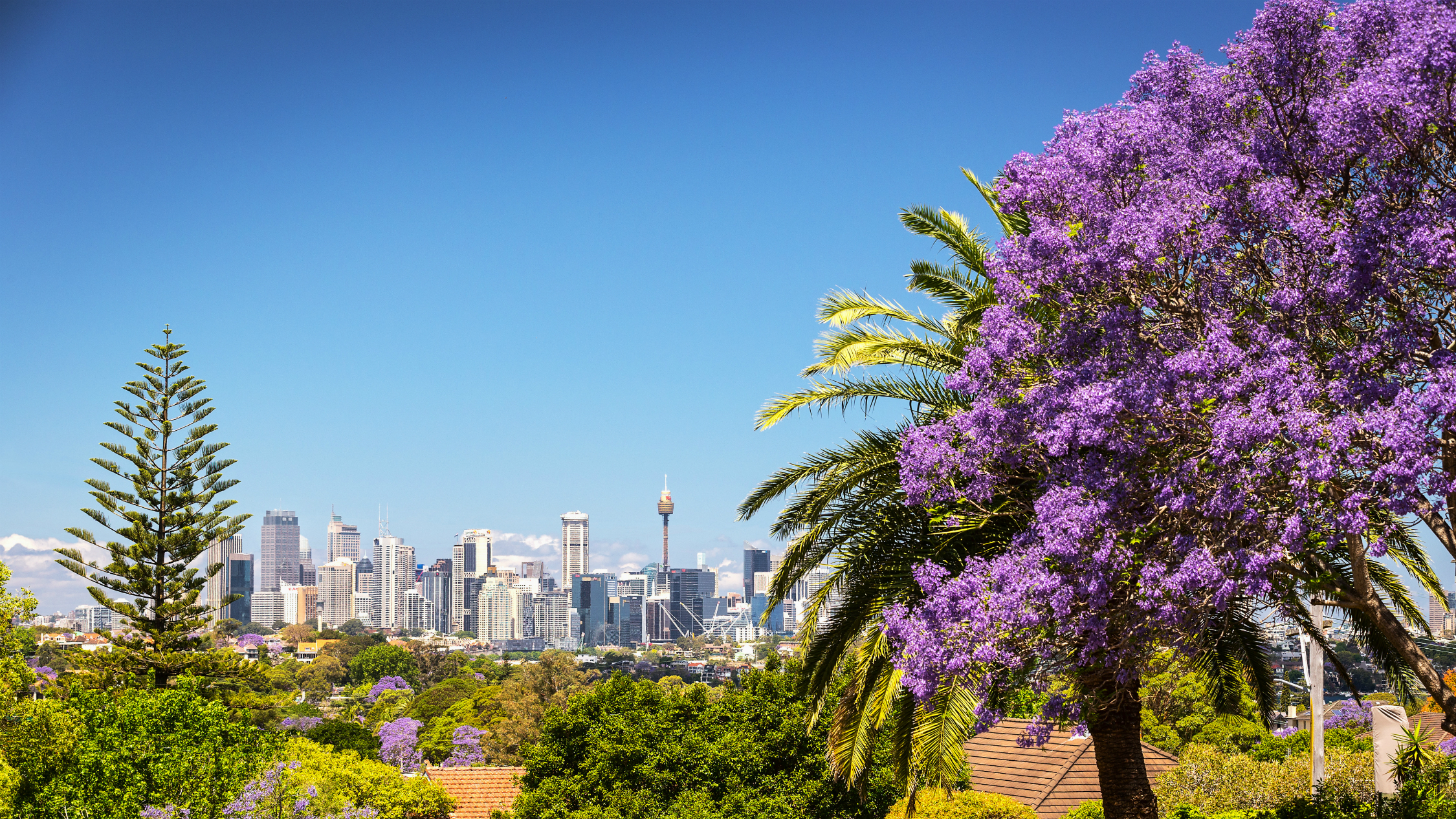 Where to see jacaranda trees in Sydney and NSW