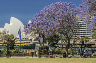 Jacaranda trees at Circular Quay in front of the Opera House.