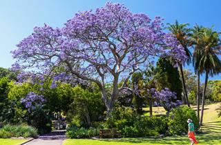 Jacaranda tress at the Royal Botanic Gardens.