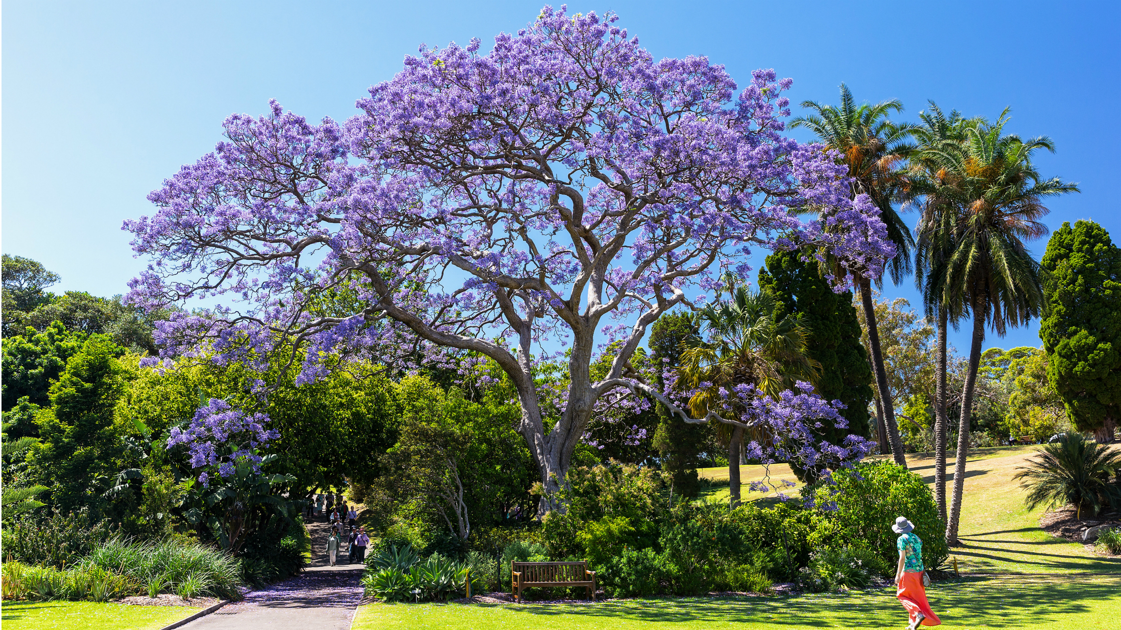 Jacaranda tress at the Royal Botanic Gardens.
